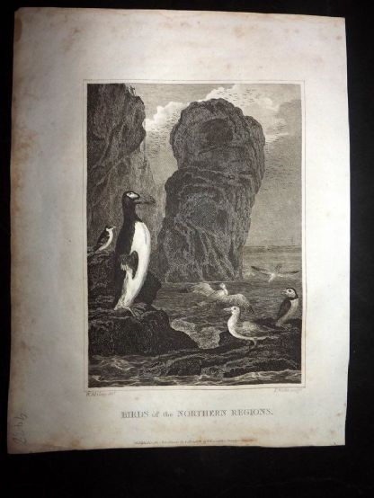Blomfield 1807 Antique Print. Birds of the Northern Regions. Penguin, Puffin